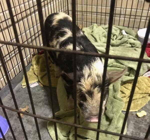 Meet 'Pork Roll': Neptune cops rescue wandering pig at