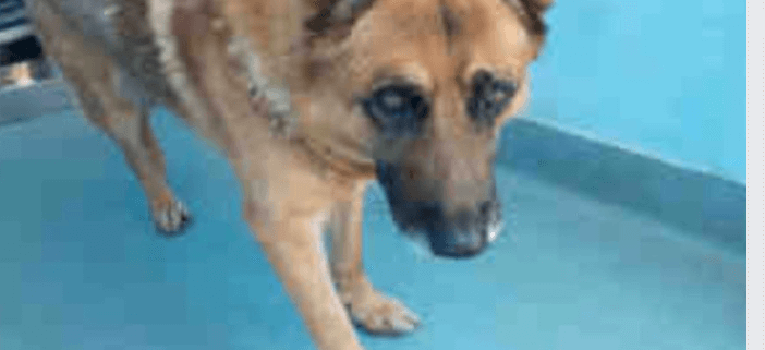 Senior shepherd sits in small, hot kennel