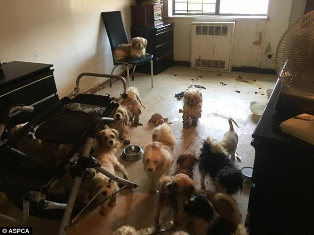 Dozens Of Neglected Shih Tzus Rescued From Sweltering Apartment In Manhattan