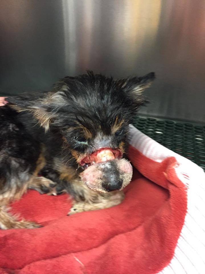 Abandoned Yorkie found with rubber band tightly wound over