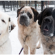 Trio of St. Bernards need a home together