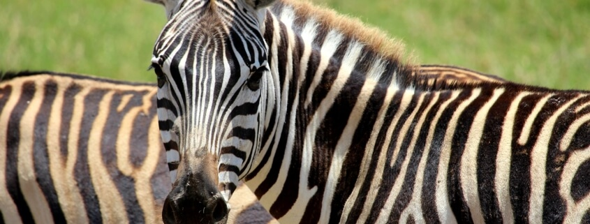5 Zebras On Loose In Prince Georges County: Officials