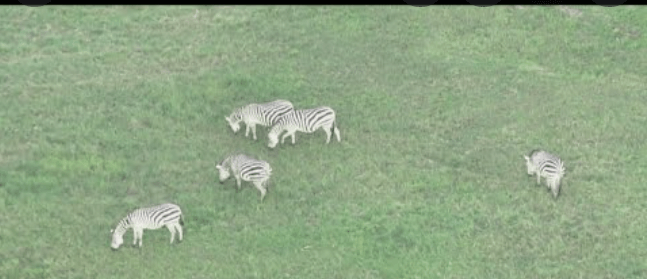 Runaways in Stripes: Five Zebras Are on the Loose in