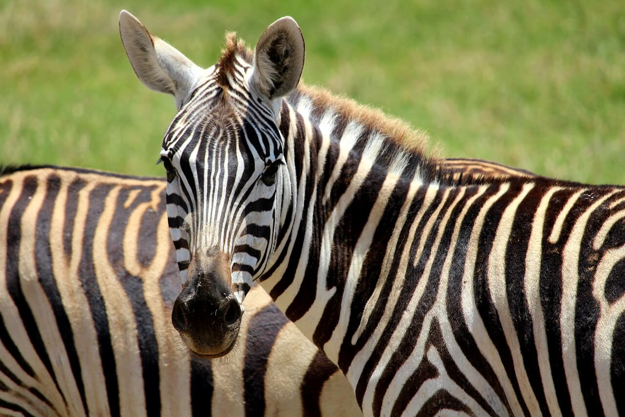 Fun Fact: Zebras Are on the Loose in This County