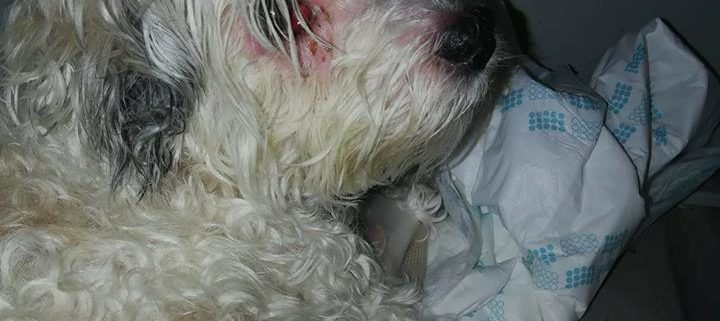 Havanese pup discovered lying alongside of her owner's dead