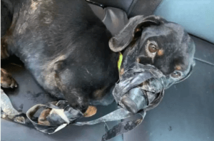 Dog abandoned in ditch with duct tape
