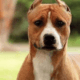 award winning dog missing