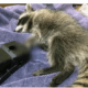 Baby raccoon euthanized after getting stuck in rat trap