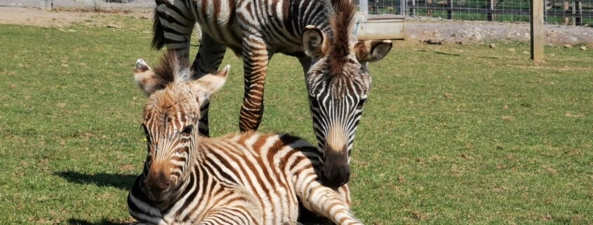 Baby zebra, Hope