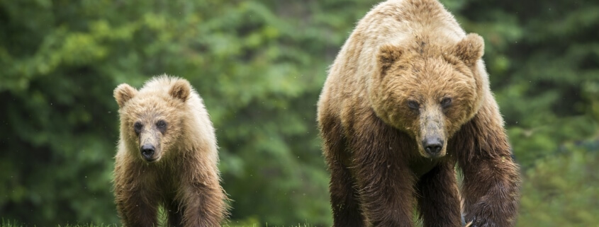 Grizzly killed after attack