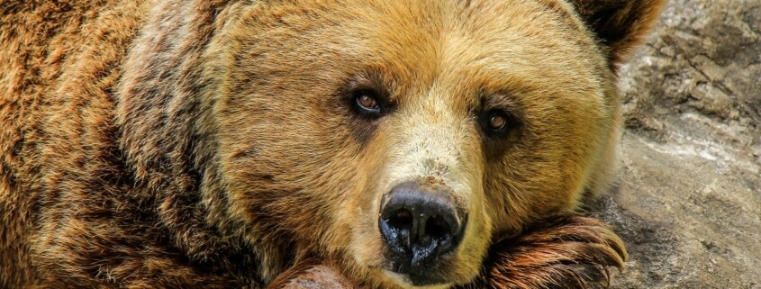 Grizzly bear killed by train