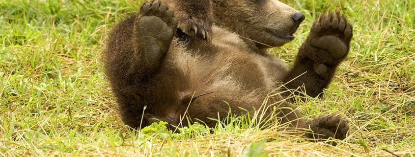 bear cub had to be euthanized after accidentally being injured by officer