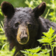 Reward for bear killed and organs removed