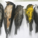 Alarming number of birds dropping dead