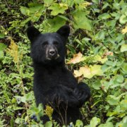 Black bear killed