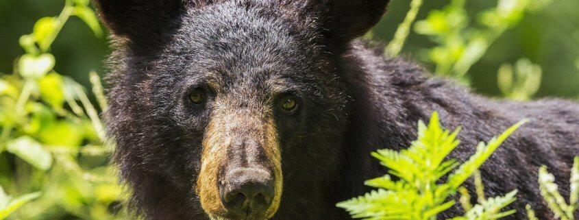 black bear shot and killed