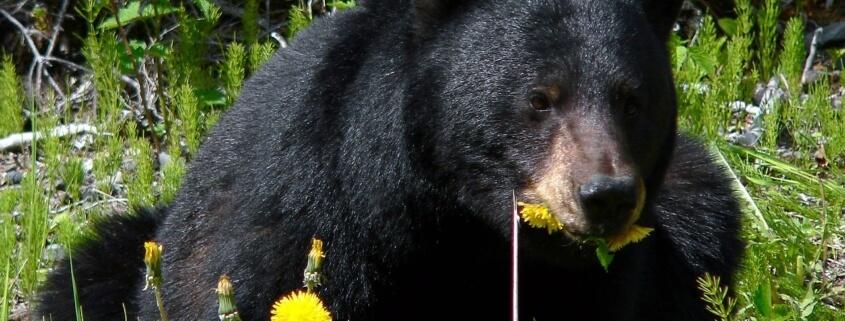 black bear euthanized
