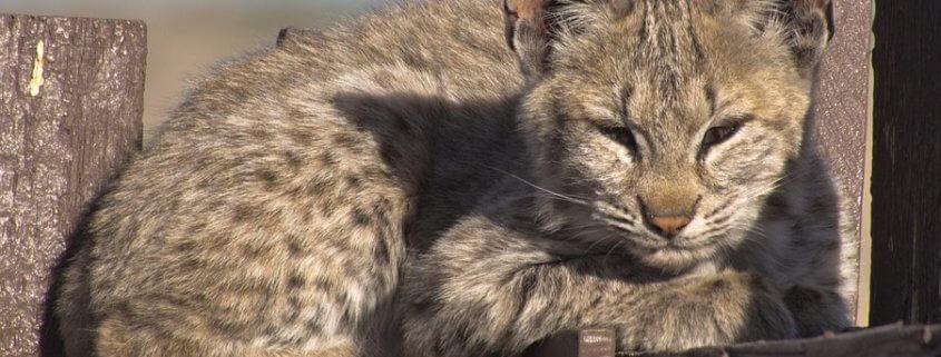 Wildlife officials killed a bobcat kitten