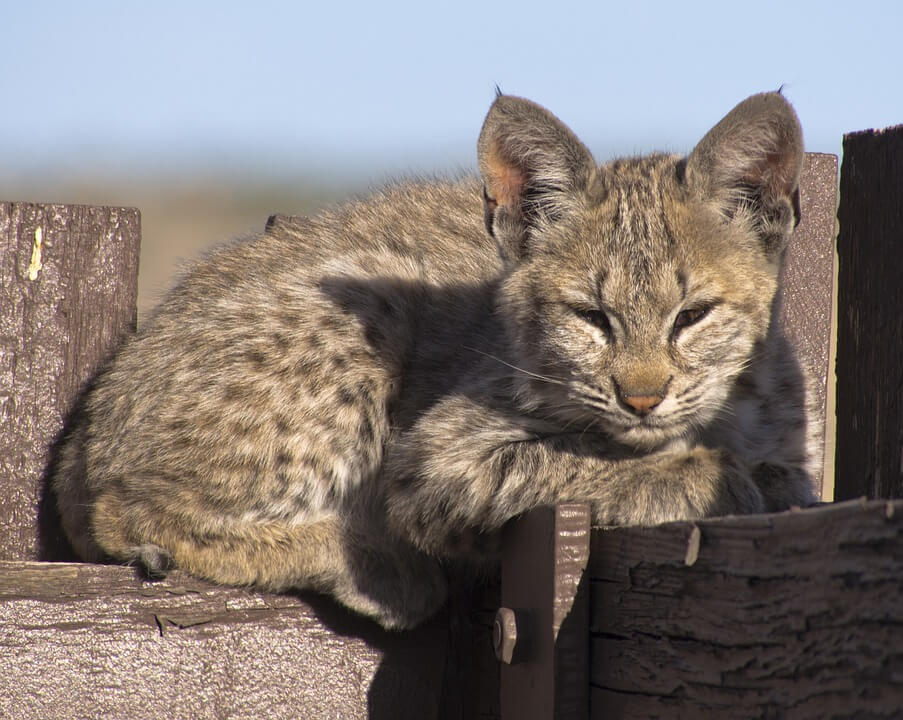 Wildlife officials killed bobcat kitten who wandered into school