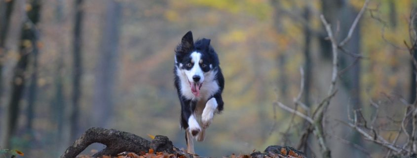 Stock image of border collie
