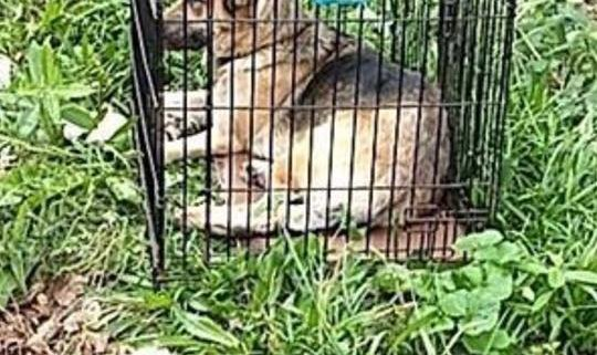 Caged German shepherd