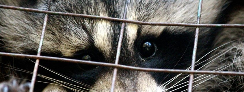 Caged raccoon set on fire