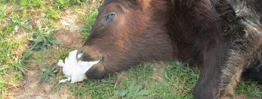 Calf suffocated on plastic bag
