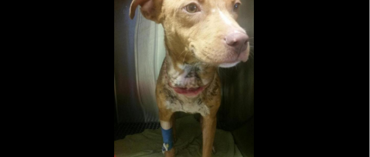 abandoned puppy found chained to fence