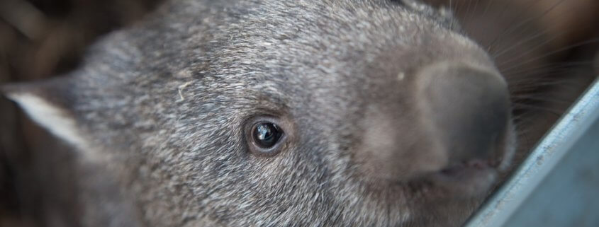 cop stoned wombat to death