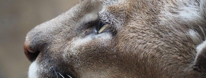 Cougar killed