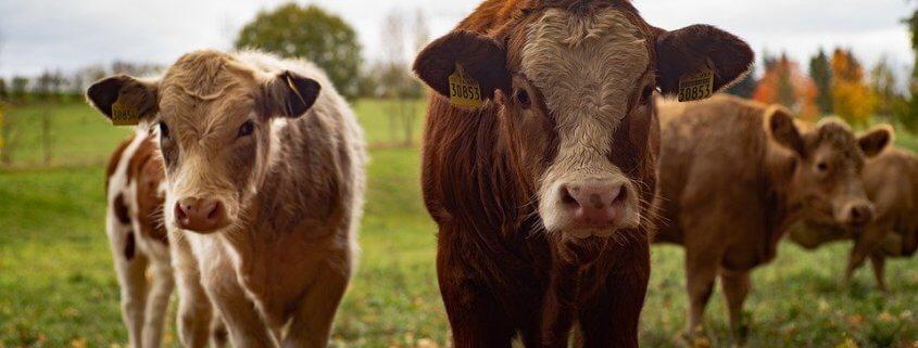 Cow killer in PA