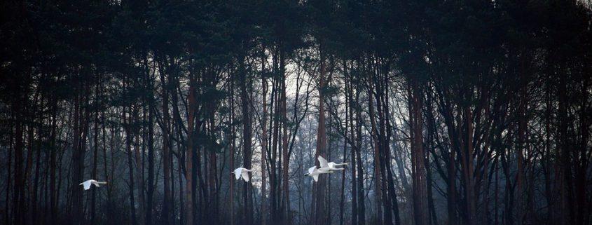 Dead geese in Idaho