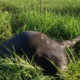 Deputy shot and killed pregnant cow