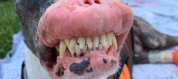 Disfigured dog Phoenix has passed away