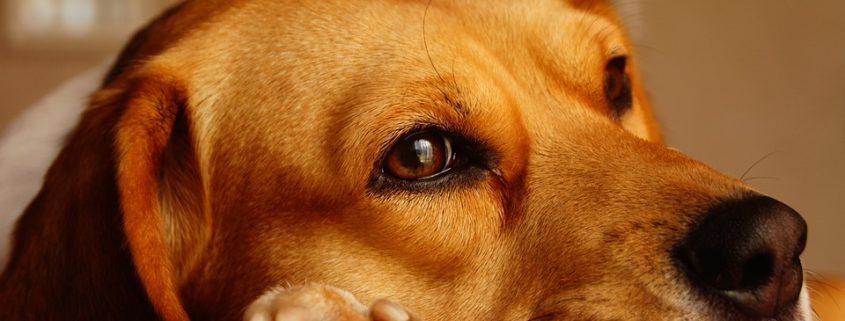 Beagle Freedom Law passed