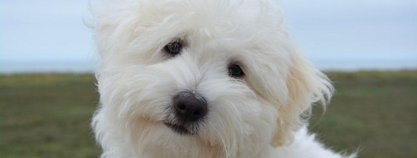 Pet store puppies making people sick