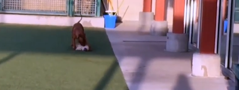 Protocol changes after dog attack in shelter play area