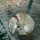 Dog chained to stop sign in the snow