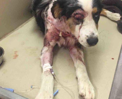 Pup severely injured at boarding facility