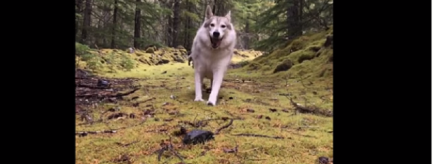Therapy dog killed, mistaken for a wolf