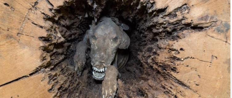 Dog mummified in a tree