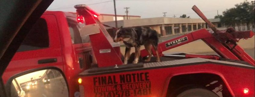 Dog on back of tow truck