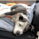 Dog paralyzed during home invasion