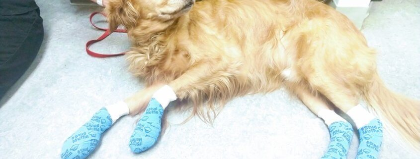 pads on dog's paws burned during trail walk