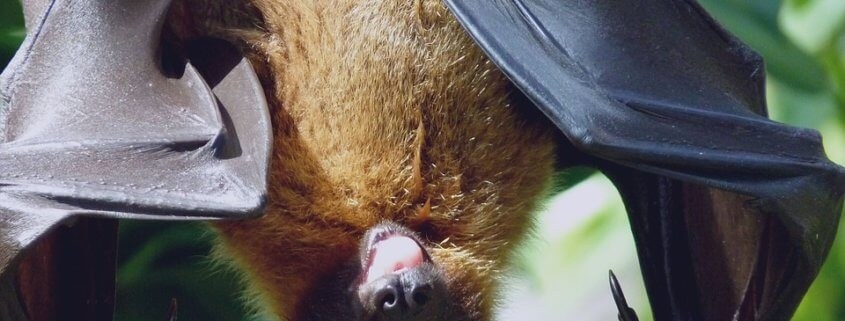 Dogs put down after bat encounter