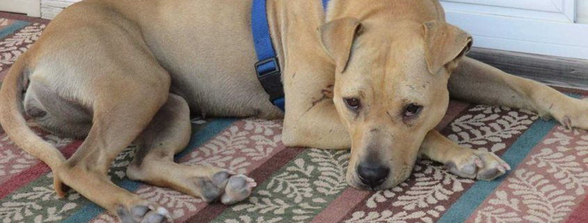 Dog severely injured at foster home