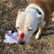 Dog shot in face while on lead