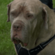 Dog thwarted a burglary