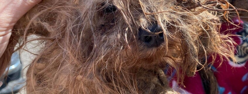 Dog too matted to walk