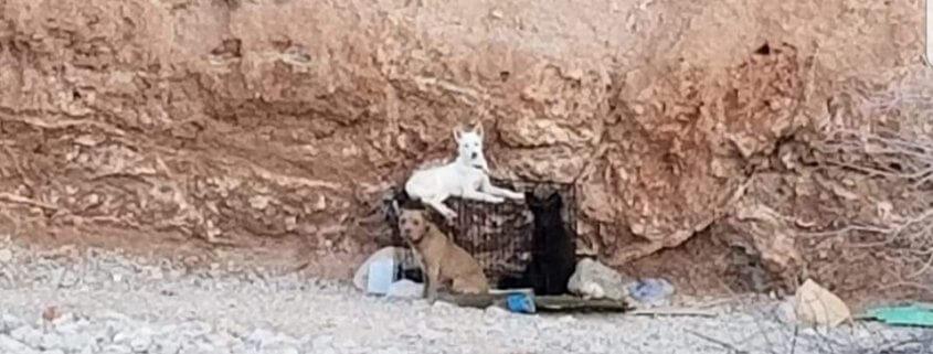 Dogs abandoned in the desert